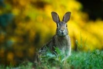 Public Domain Image: Close-up Of Rabbit On FieldID: 84911743 © creativecommonsstockphotos | Dreamstime Stock Photos